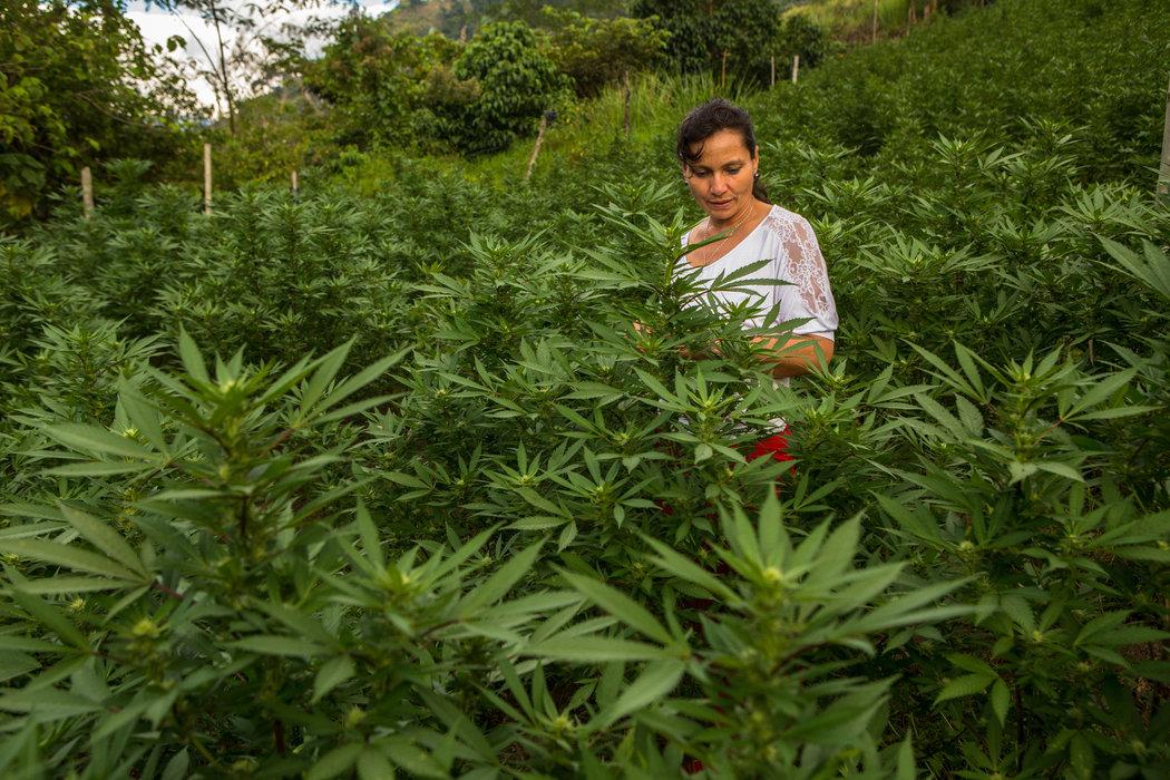Colombia ve una oportunidad en la marihuana, después de décadas de combatirla