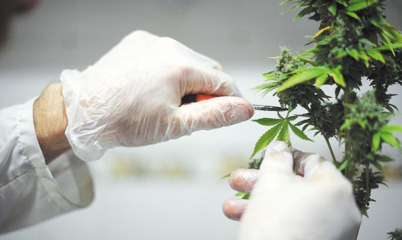 La marihuana podría derrotar al cáncer de páncreas