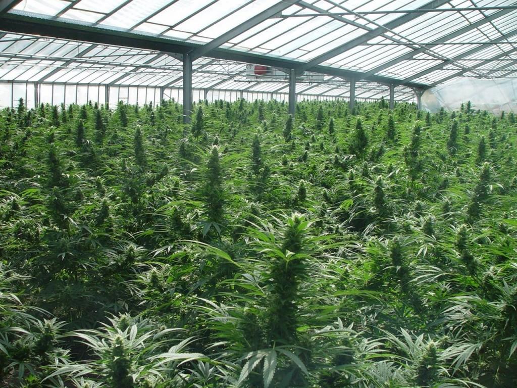 Medcann, la primera compañía colombiana con aval para cultivar y elaborar cannabis medicinal