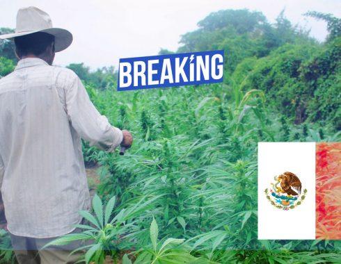 Gobierno de AMLO ya planea una legalización total de la marihuana en México