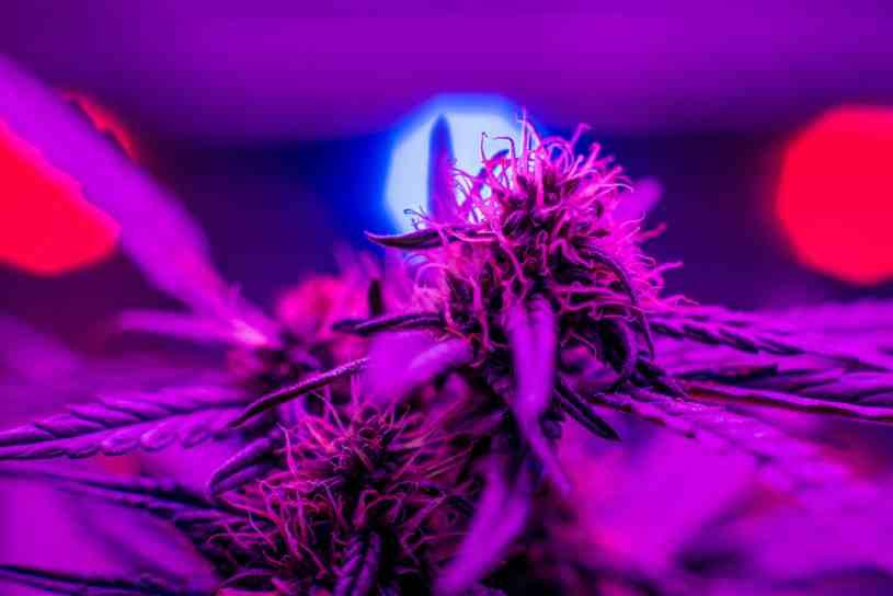 La Marihuana reduce el riesgo de cáncer en enfermedad de Crohn