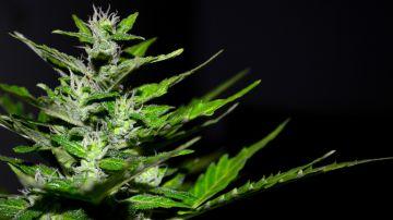 Portugal permitirá que enfermos de esclerosis múltiple utilicen cannabis medicinal