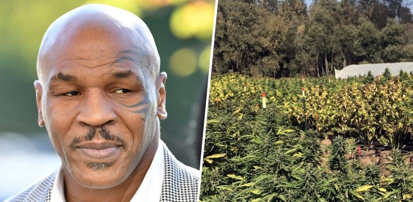 Mike Tyson, de boxeador a empresario cannábico