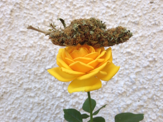 Sustancias del cannabis 30 veces más efectivas que la aspirina