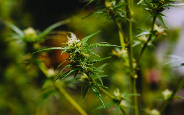 ¿Cuánto paga el cannabis a los trabajadores canadienses?