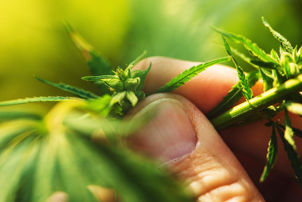 ¿Cómo se sabe que una planta de cannabis entra en floración?